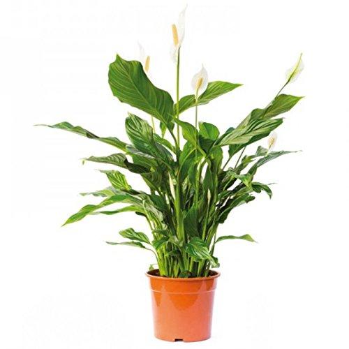 Spathiphyllum Wallisii - Terrariumpflanze