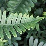 Tüpfelfarn - Polypodium vulgare - Farn