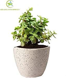 ARYANA ENTERPRISES Good Luck Jade Plant In Round Dew Ceramic Pot Air Purifier