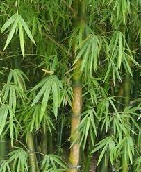 Riesenbambus-Dendrocalamus gigantea 10 Samen