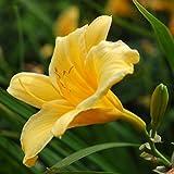 """Hemerocallis hybrida """"Stella de Oro"""" [Vaso Ø17cm]"""