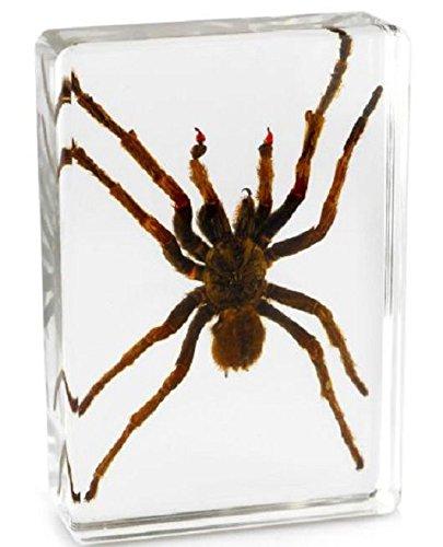 Real Nature - Echtes Insekt Briefbeschwerer Taxidermie Exemplar Tarantula Spinne (Extra Groß)