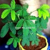 Paquet de 5 100 graines de loup herbe queue Graines Pennisetum Glaucum ornemental Millet Spicas F010