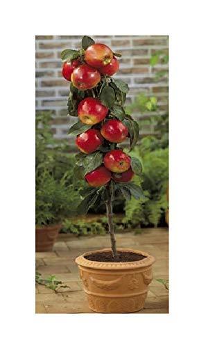 1x Frisch Apfel Braeburn Apfelbaum Garten Pflanze K-P412