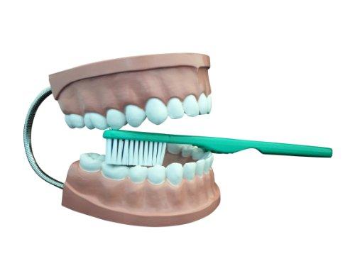 Ajax científica AN020-0002plástico dental modelo de atención con cepillo de dientes gigante, 6x 4,5x 5cm