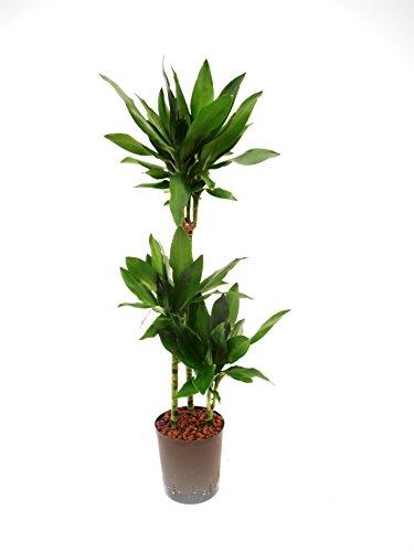 Drachenbaum, Dracaena fragrans Janet Lind, Zimmerpflanze in Hydrokultur, 18/19er Kulturtopf, 90 - 110 cm