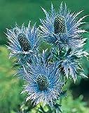SANHOC Samen-Paket: Frische 400 Samen -Alpinum Blumensamen -