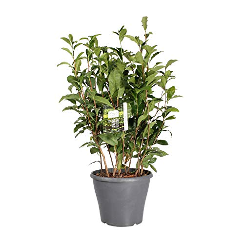 BOTANICLY | Herbs and Vegetable Plants - Tea Plant | Height: 50 cm | Camellia Sinensis