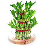 Abana Homes Bamboo Plant Indoor with Pot - Three Layer Live Bamboo Plant in Big Glass Bowl - Great Home/Office Decor