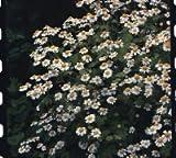 Just Seed Saatgut, Mutterkraut (Tanacetum partheniu, 900 Samen