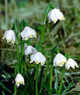 LEUCOJUM VERNUM - Echter Märzenbecher (5) von Mosselman auf Du und dein Garten