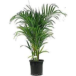 Pinkdose® 10 Samen Dypsis lutescens (Schmetterlings-Palme) Luftreinigungsanlage