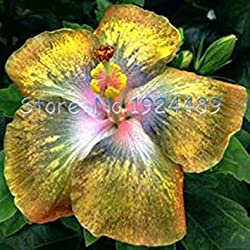 Seltene 12 verschiedenen Farben der japanischen Bonsai Hibiskussamen 50PCS Gartenpatio Topfblumen