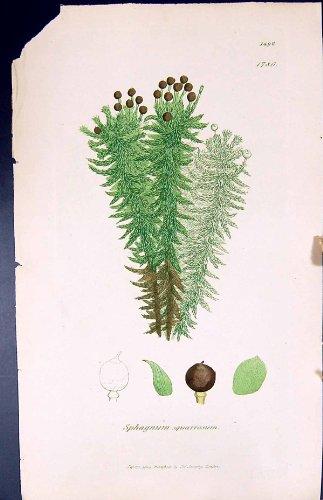 betriebsbotanik-torfmoos-squarrosum-briten-farbdruck-1847-sowerby-smith