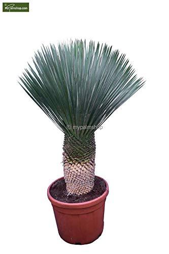 SPANISCHE Yucca rostrata - Premium Qualität winterhart- verschiedene Größen (130-150cm - Stamm 30-40cm - Topf Ø 48cm)