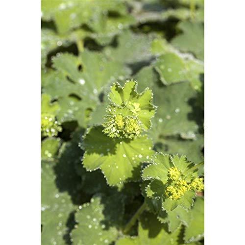 Großblättriger Gelb-grüne, ansehnliche Blüten