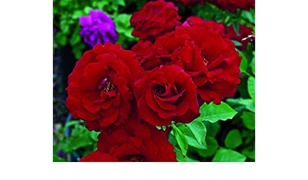 Famous Garden Live Dark Red Rose Gulab Flower Plant With Pot Decorative Flower Plant Amazon In Garden Outdoors