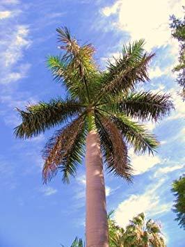 FERRY Keim Seeds: Roystonea Regia Cuban Royal Palm Hoch Samen Palmen Samen Seed 100 Samen