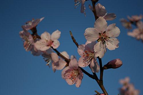 perfumed-sweet-almond-tree-productive-floriferous