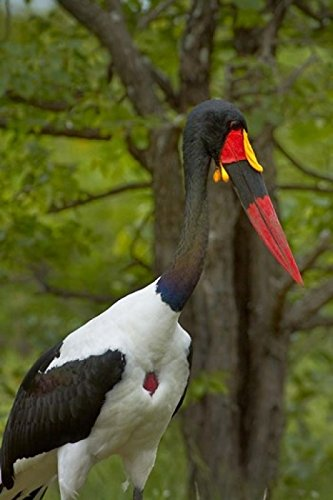 David Wall / DanitaDelimont – Saddle-billed Stork Kruger NP South Africa Photo Print (30,48 x 43,18 cm) (Saddle-billed Stork)