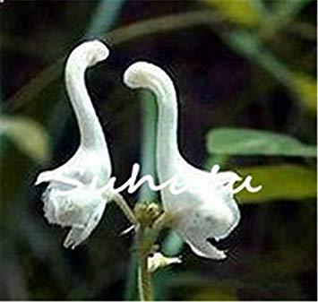Vistaric 30pcs japonais graines d'orchidée de tigre blanc et noir Radiata Egret Graines d'orchidée Graines du monde espèces rares pour la décoration de jardin à la maison 3