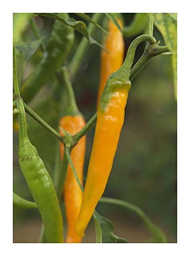 Chili Orange Cayenne - Piment Orange Cayenne - 10 graines