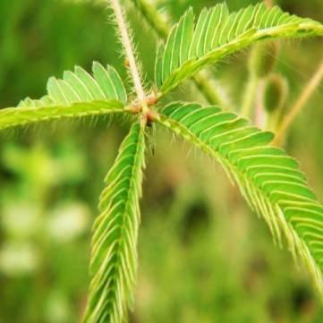 Herb Sensitive Rosa Umzug Hostilis Mimose Pflanzensamen