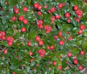 Teppichmispel - Kriechmispel 'Coral Beauty' - Cotoneaster dammeri 'Coral Beauty' 20 - 30 cm, 4-5 pro m, 5-6 m von Gartengruen24 auf Du und dein Garten