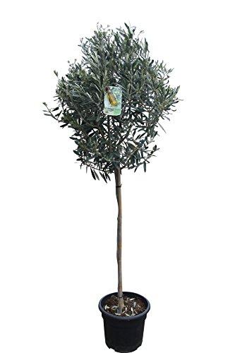 Hochstämmiger Olivenbaum 160cm hoch, winterhart, A+ ware, olea europea