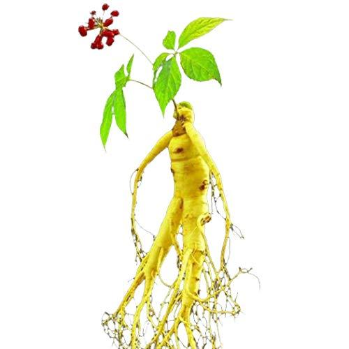 Mymotto 100 piezas Plantas medicinales de la hierba del jardín de las semillas del ginseng de la salud de la salud Verduras