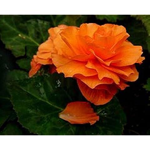 I semi di fiori Begonia 20 Pz