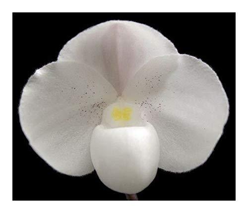 Paphiopedilum niveum - orchidées - 100 graines