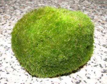 3-mossballs-xxl-6-8-cm-cladophora-aegagrophila-for-aquarium-and-pond
