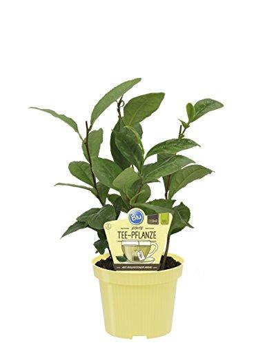 Dominik Blumen und Pflanzen, Bio-Kräuter, Echter Tee, Camellia sinensis, 2 Pflanzen, 12 cm - Pflanze Tee