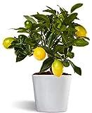 Limequat o limonella lakeland - limonero enano de interior - planta viva - maceta cerámica 12cm
