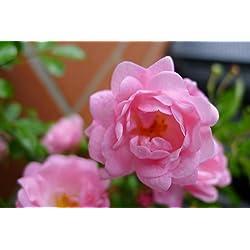 Bodendecker winterhart mehrjährig Bodendecker Rosen Rosa The Fairy reich blühende robuste Rose 20/30 cm Sommerblüher (10)