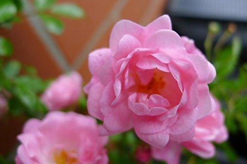fairy rosen Bodendecker winterhart mehrjährig Bodendecker Rosen Rosa The Fairy reich blühende robuste Rose 20/30 cm Sommerblüher (10)