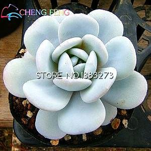 50pcs Bonsai Graines Fleurs intérieur Graines charnu Lithops Plante Pierre Fleur semences Succulent Cactus en pot Plantes Mini Décoration