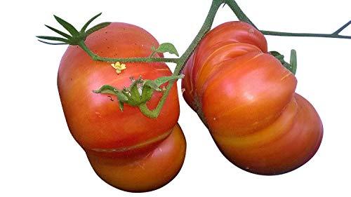 Ananas Tomate -TOMATE BEEFSTEAK - PINEAPPLE 10 Samen (Sehr selten und lecker)