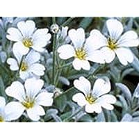 Portal Cool Nieve en Verano - Cerastium Tomentosum 100 Semillas * 097