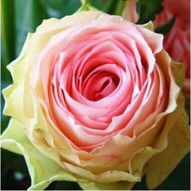 jardinières Pots de fleurs, 20 sortes de 100 graines, Rainbow Rose graines belle rose graines bonsaïs graines pour la maison et le jardin 18