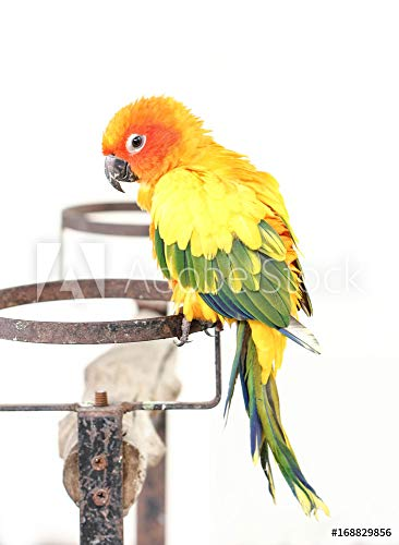 druck-shop24 Wunschmotiv: Colorful Yellow Parrot, Sun Conure (Aratinga solstitialis), Standing On The Branch #168829856 - Bild auf Alu-Dibond - 3:2-60 x 40 cm / 40 x 60 cm (Sun Conure Parrot)
