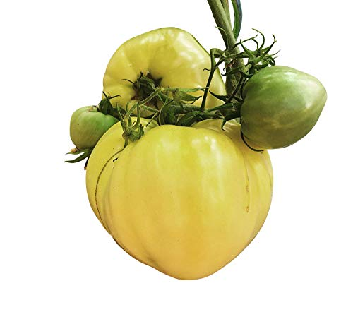 Ochsenherz Tomate Weiß 10 Samen