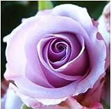 #5: Rare Exotic Rose Flower Live Plant - Lavender Beauty Rose ( 1 Live Plant)