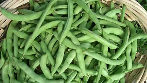 Weiß Die Hälfte Läufer (Potseed Samen Keimung: Bohne, weiße Hälfte Läufer, 100 Erbstück, Nicht-GVO-Saatgut)
