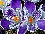 Vente 200 pièces Safran Fleur Végétaux, Safran Bulbes, Bonsai Fleur Iran Crocus pour Plantes en Pot Jardin Décoration Bonsai: 15...