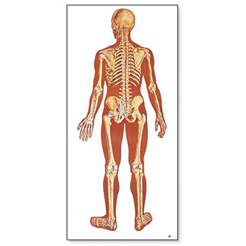 3B Scientific V2002M Lehrtafel, Das menschliche Skelett, Rückseite