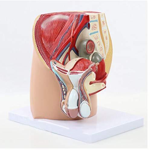 Fvdsghdf Sistema pelvico urinario genitale Maschile - Modello pelvico, Modello pelvico Medio sagittale, Modelli strutturali pelvici Interni ed Esterni, Insegnamento Medico