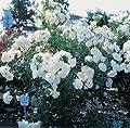 Strauchrose 'Schneewittchen' -R- im 4 L Container von Rosen-Union - Du und dein Garten