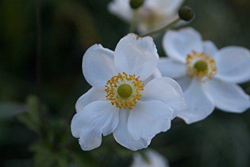 Anemone x japonica 'Andrea Atkinson' - 3 Pflanzen im 0,5 lt. Vierecktopf